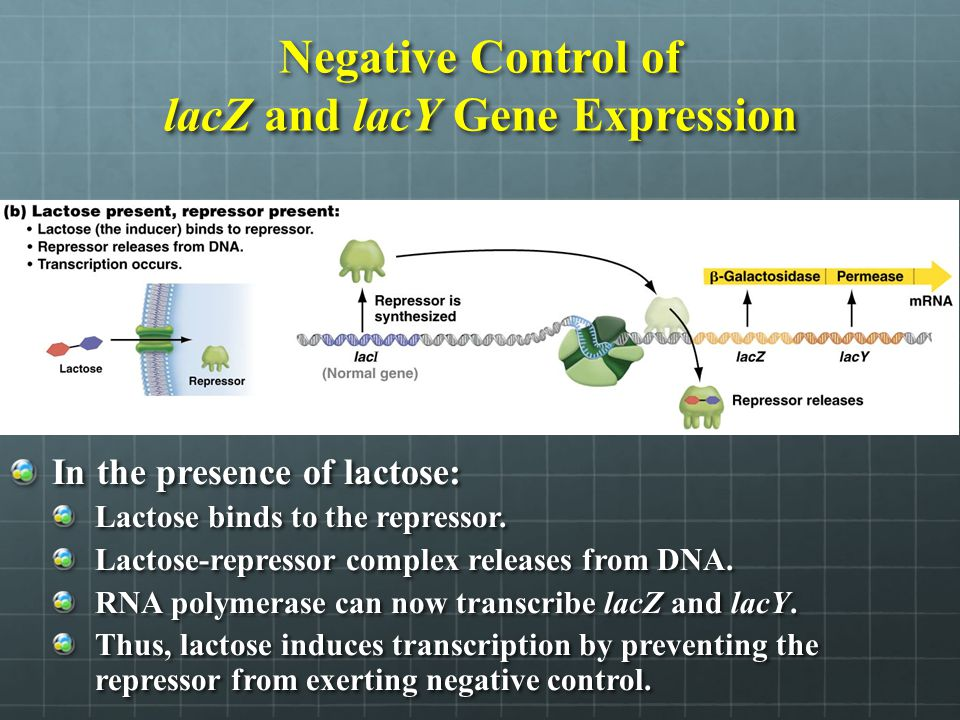 Negative Control of lacZ and lacY Gene Expression