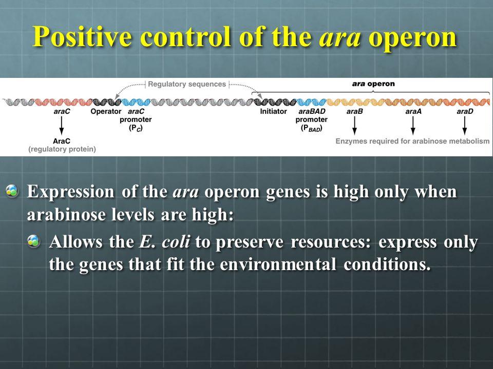 Positive control of the ara operon