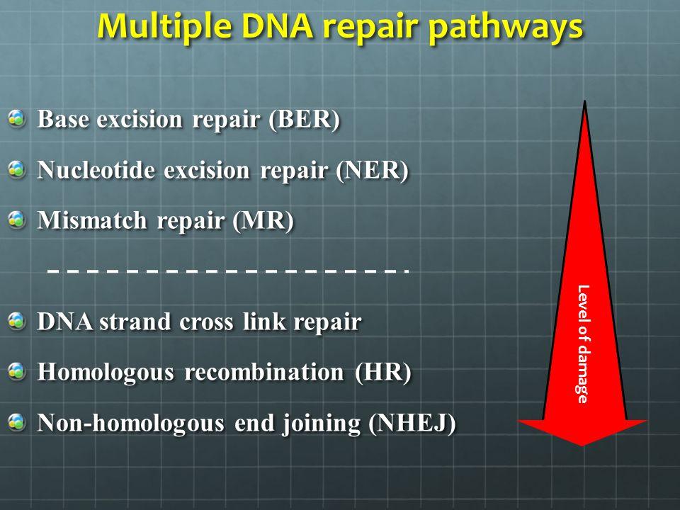 Multiple DNA repair pathways