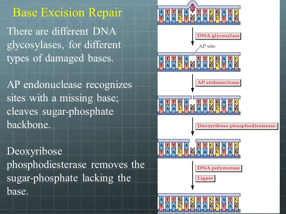 Base Excision Repair There are different DNA glycosylases, for different types of damaged bases.