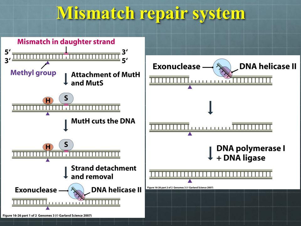 Mismatch repair system