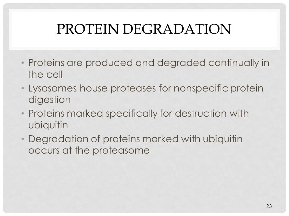 Protein Degradation Proteins are produced and degraded continually in the cell. Lysosomes house proteases for nonspecific protein digestion.