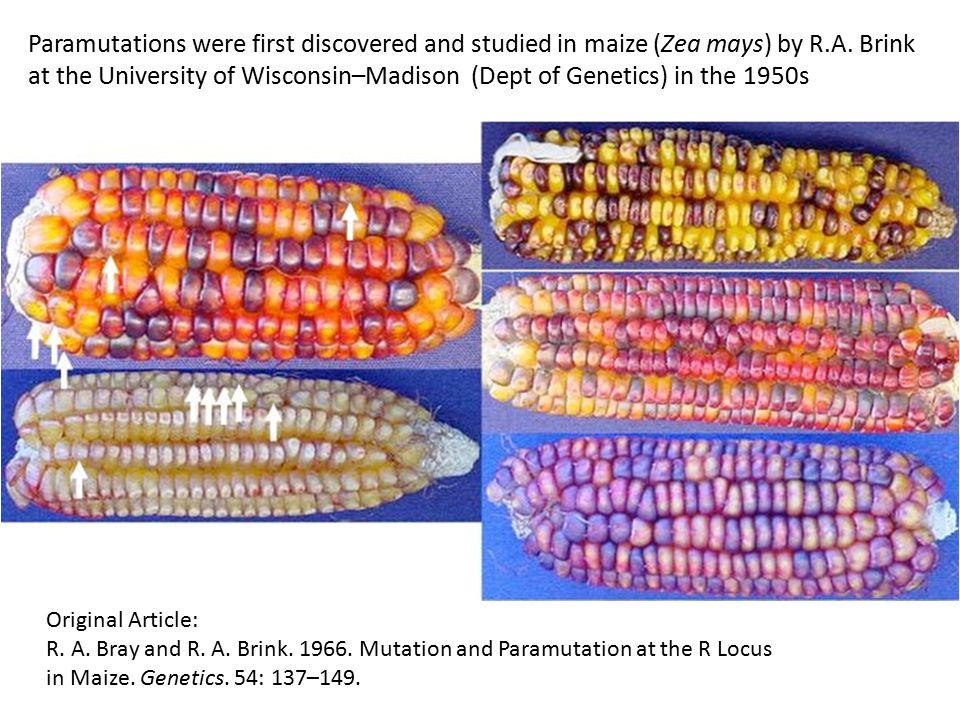 Paramutations were first discovered and studied in maize (Zea mays) by R.A. Brink at the University of Wisconsin–Madison (Dept of Genetics) in the 1950s