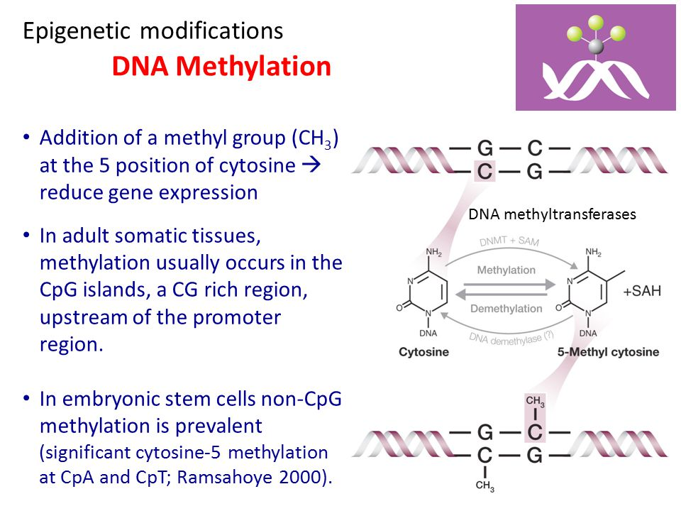 DNA Methylation Epigenetic modifications