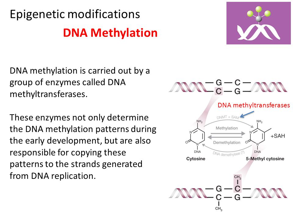 Epigenetic modifications DNA Methylation