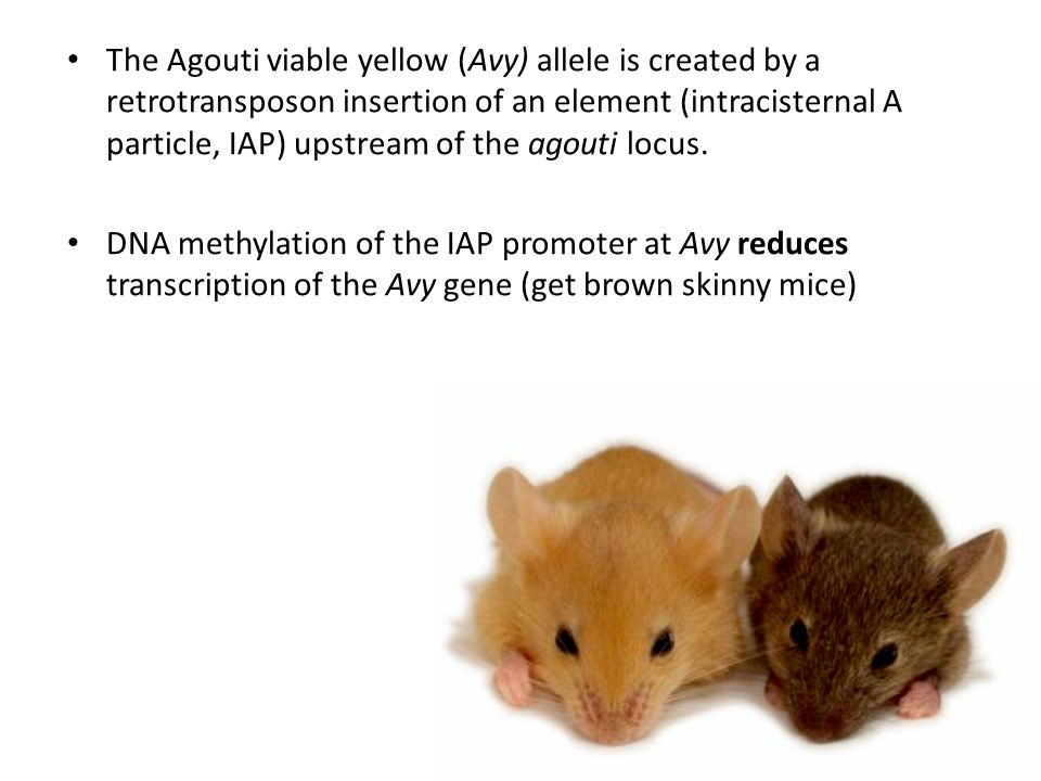 The Agouti viable yellow (Avy) allele is created by a retrotransposon insertion of an element (intracisternal A particle, IAP) upstream of the agouti locus.