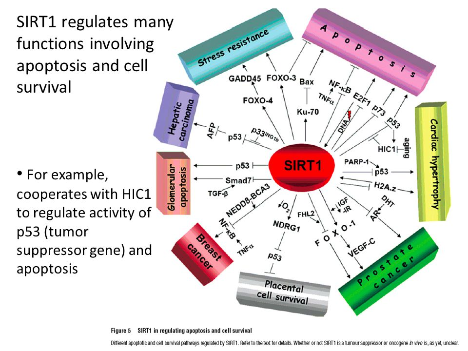 SIRT1 regulates many functions involving apoptosis and cell survival