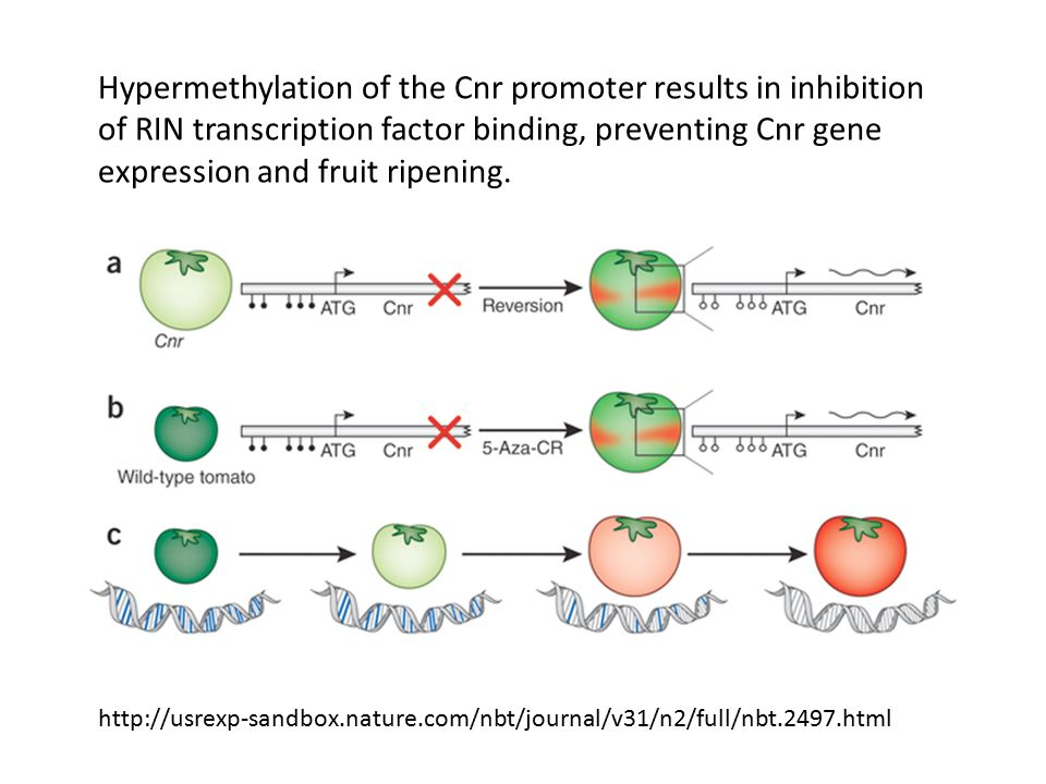 Hypermethylation of the Cnr promoter results in inhibition of RIN transcription factor binding, preventing Cnr gene expression and fruit ripening.