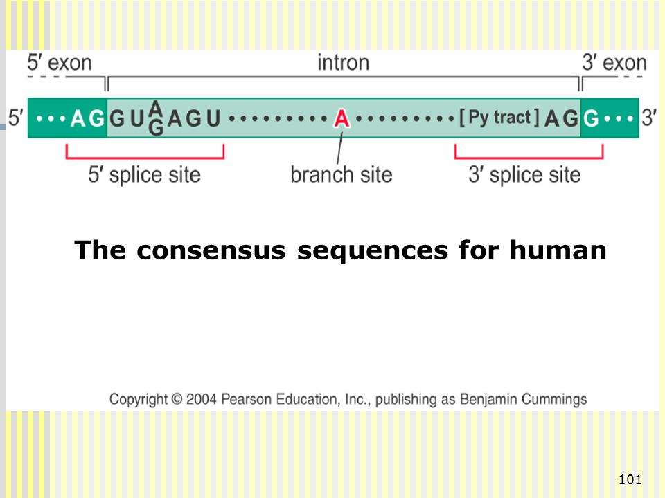 The consensus sequences for human