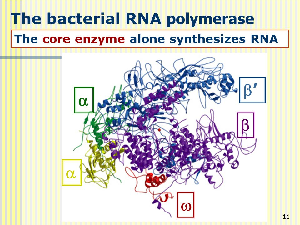 The bacterial RNA polymerase