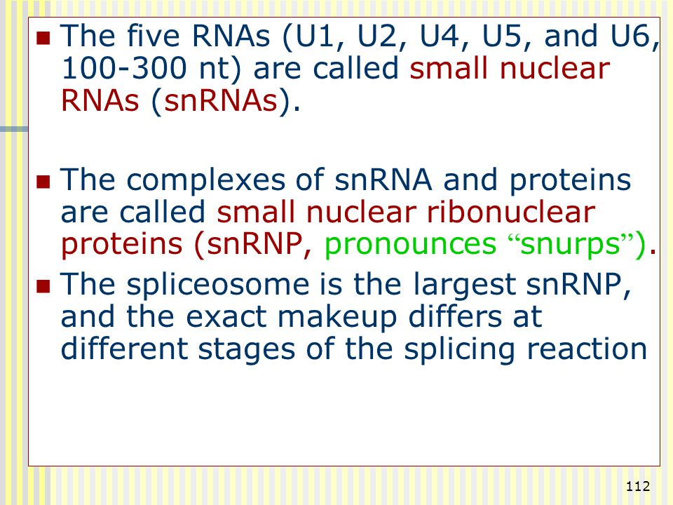 The five RNAs (U1, U2, U4, U5, and U6, 100-300 nt) are called small nuclear RNAs (snRNAs).