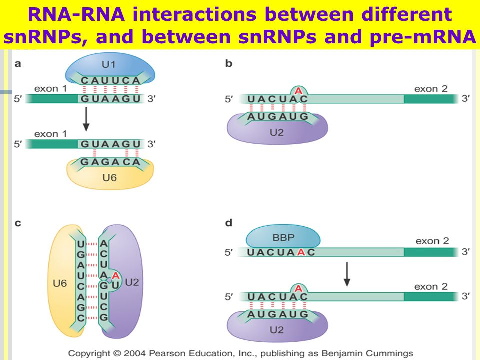 RNA-RNA interactions between different snRNPs, and between snRNPs and pre-mRNA