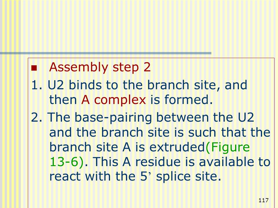 Assembly step 2 1. U2 binds to the branch site, and then A complex is formed.