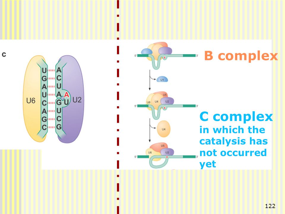 B complex C complex in which the catalysis has not occurred yet