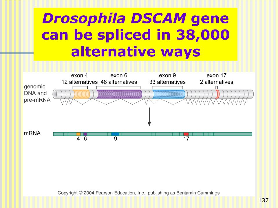 Drosophila DSCAM gene can be spliced in 38,000 alternative ways
