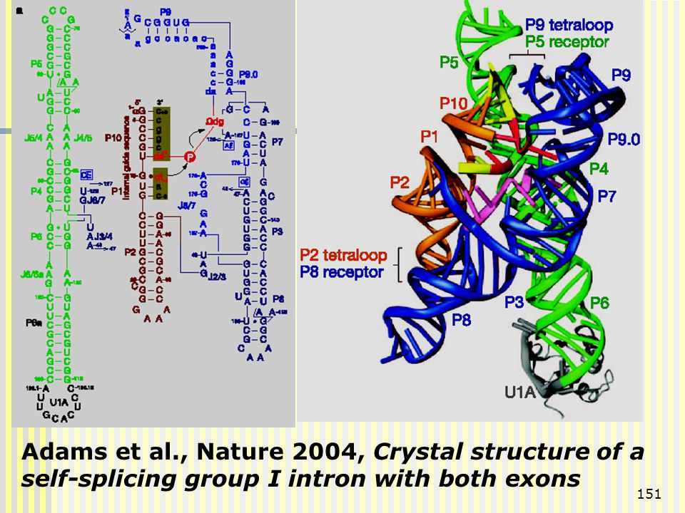 Adams et al., Nature 2004, Crystal structure of a self-splicing group I intron with both exons