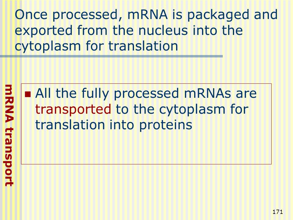 Once processed, mRNA is packaged and exported from the nucleus into the cytoplasm for translation
