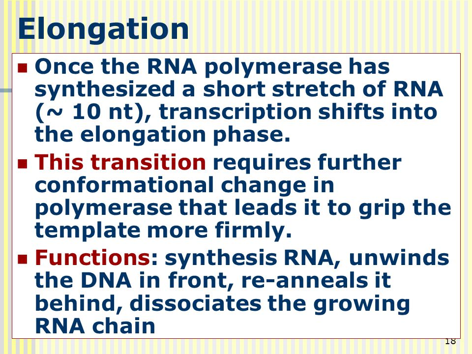 Elongation Once the RNA polymerase has synthesized a short stretch of RNA (~ 10 nt), transcription shifts into the elongation phase.