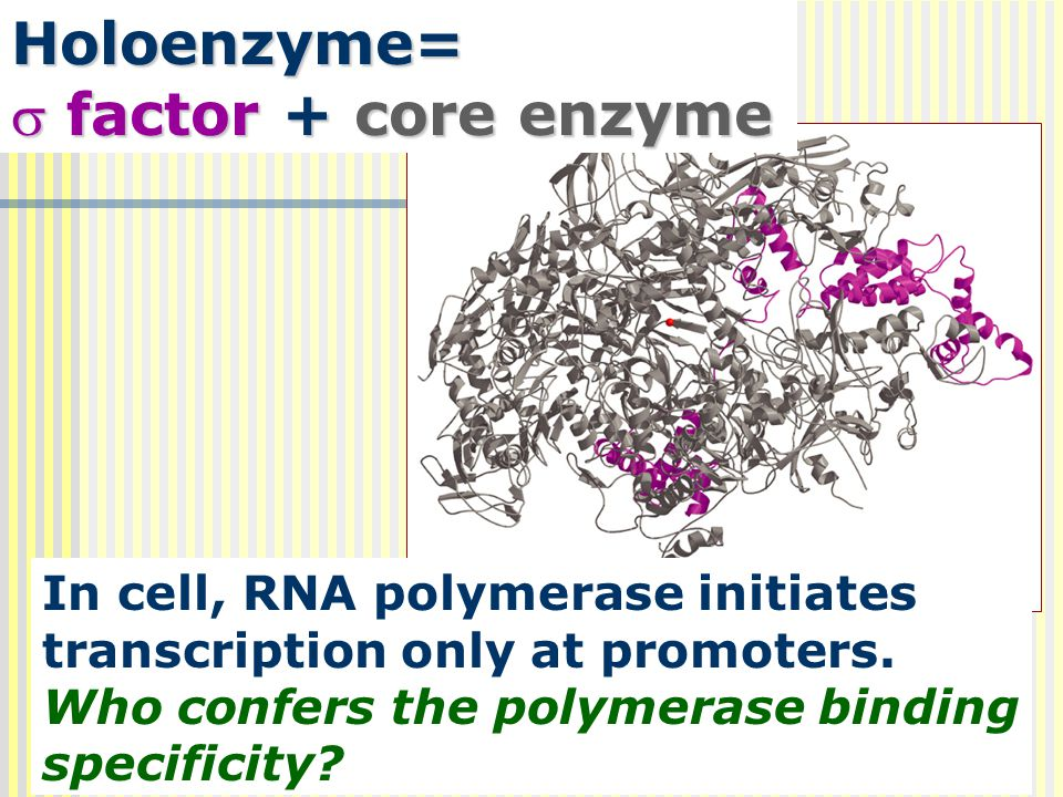 Holoenzyme= factor + core enzyme