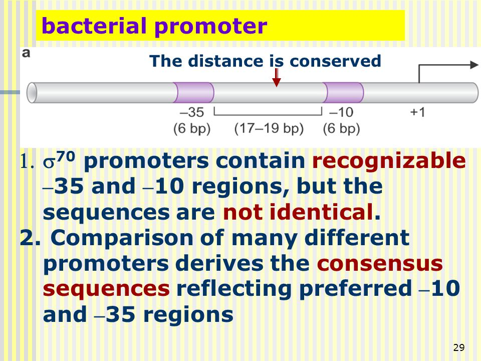 bacterial promoter The distance is conserved. s70 promoters contain recognizable –35 and –10 regions, but the sequences are not identical.