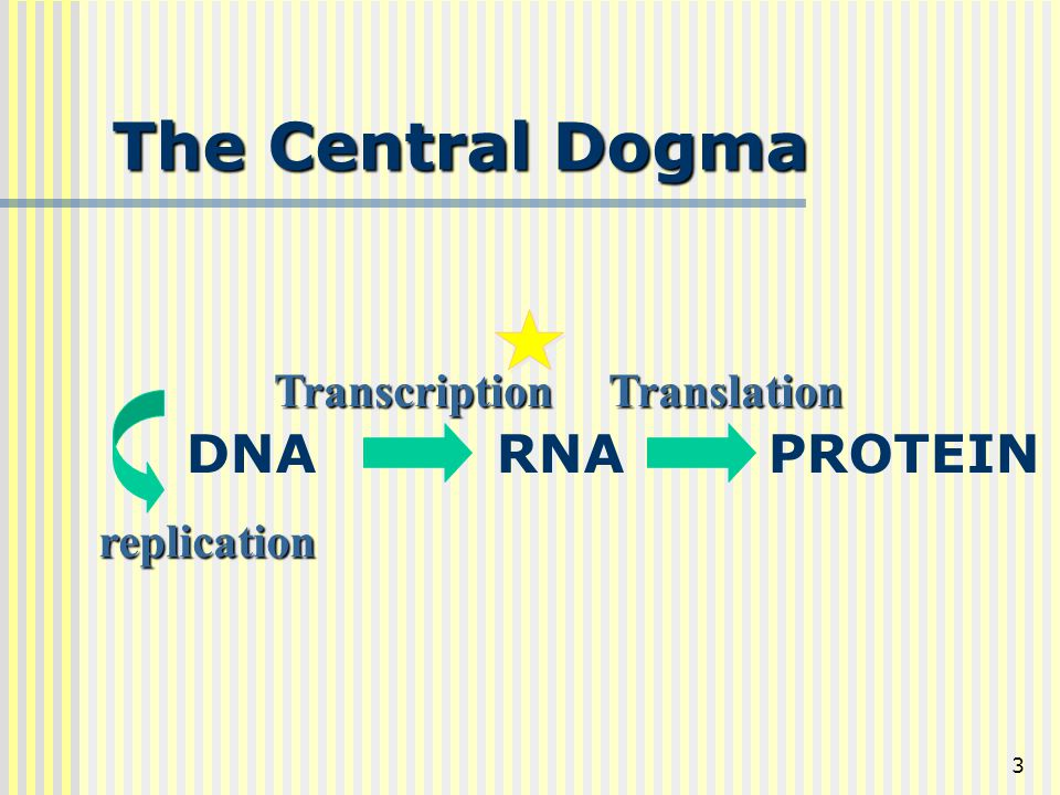 The Central Dogma DNA RNA PROTEIN Transcription Translation