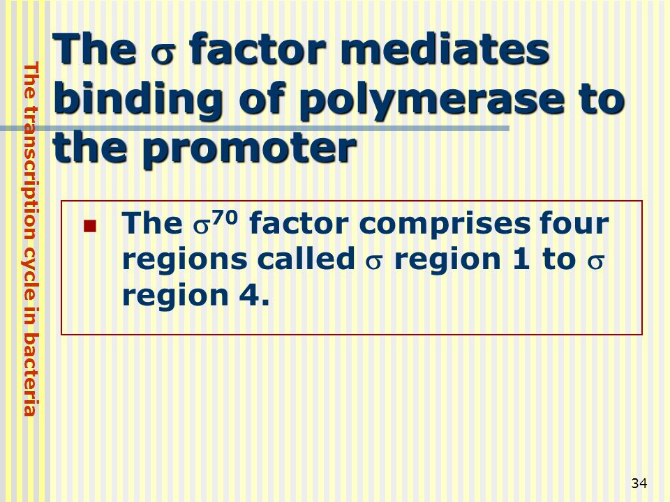 The s factor mediates binding of polymerase to the promoter