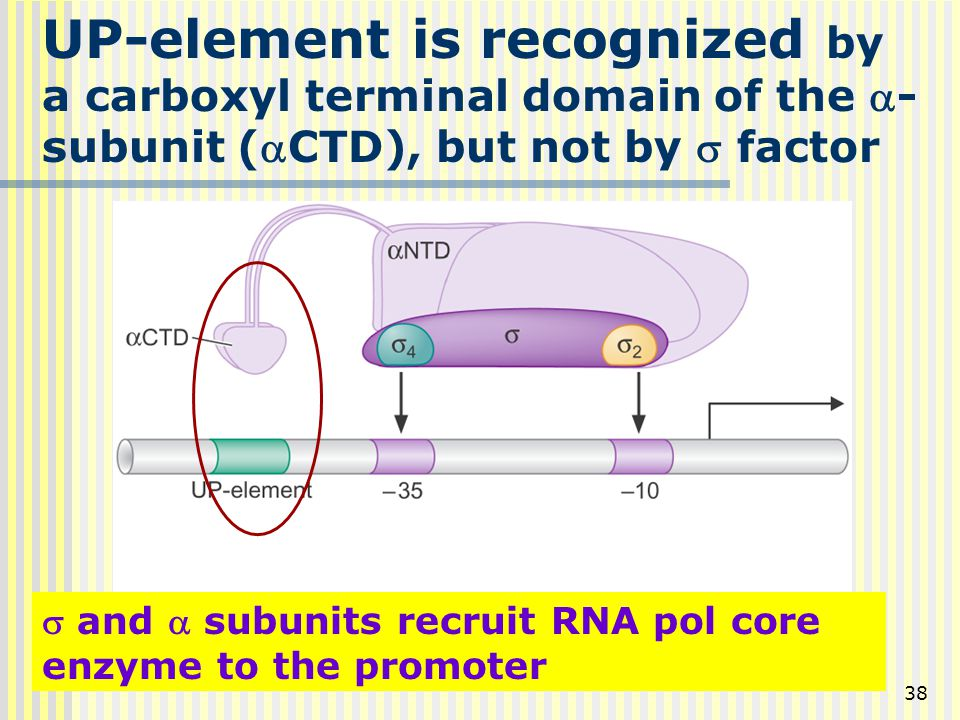 UP-element is recognized by a carboxyl terminal domain of the a-subunit (aCTD), but not by s factor