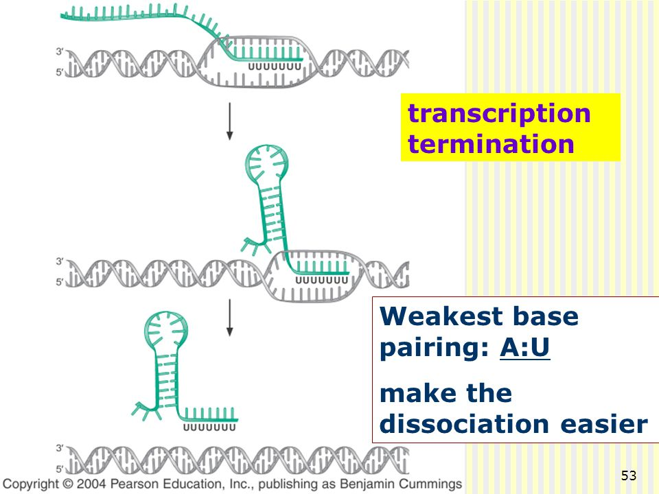 transcription termination