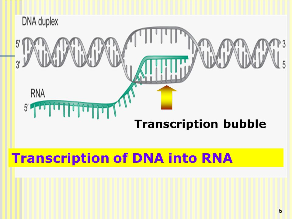 Transcription of DNA into RNA