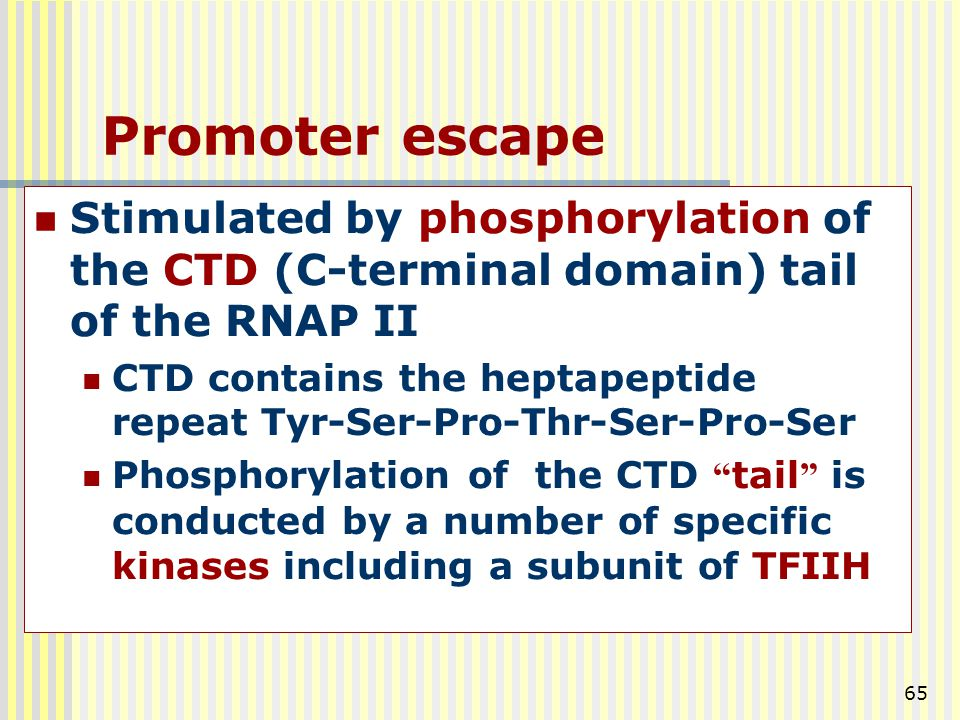 Promoter escape Stimulated by phosphorylation of the CTD (C-terminal domain) tail of the RNAP II.