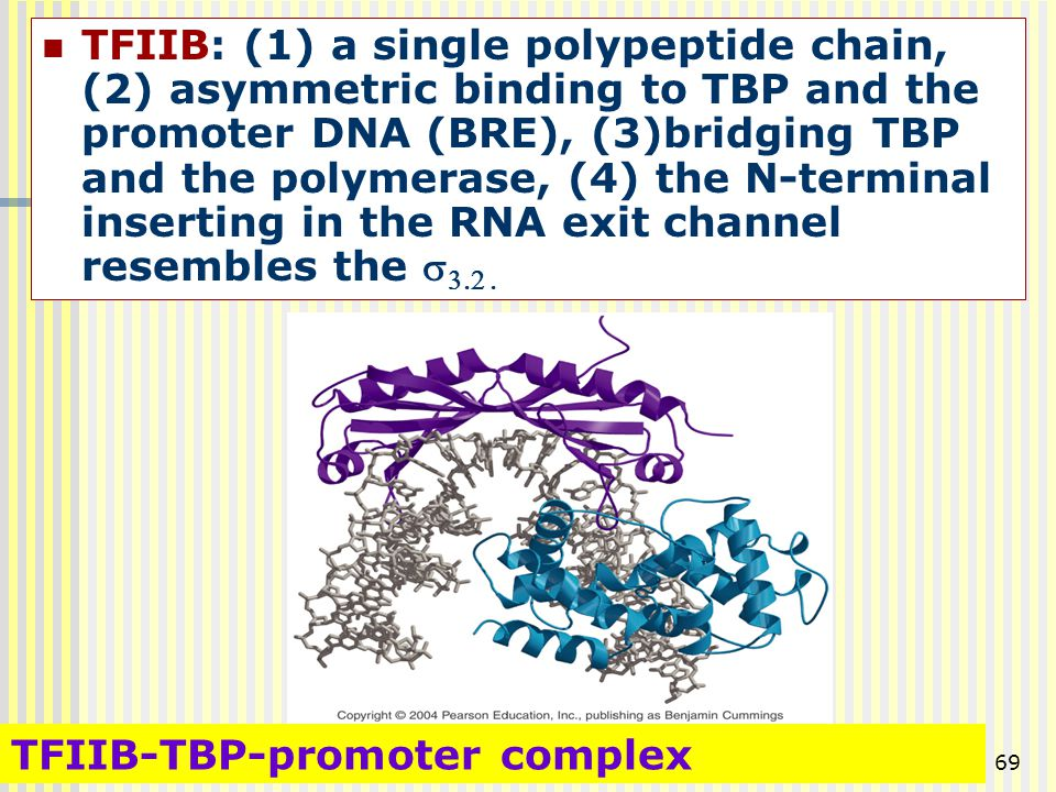 TFIIB: (1) a single polypeptide chain, (2) asymmetric binding to TBP and the promoter DNA (BRE), (3)bridging TBP and the polymerase, (4) the N-terminal inserting in the RNA exit channel resembles the s3.2 .