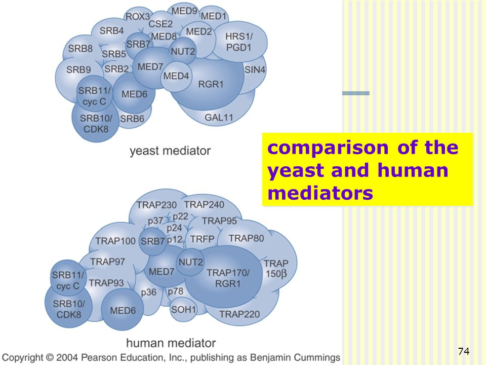 comparison of the yeast and human mediators