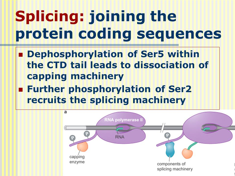 Splicing: joining the protein coding sequences