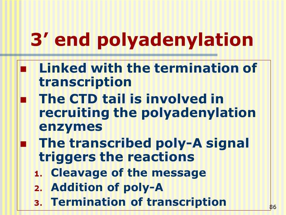 3' end polyadenylation Linked with the termination of transcription