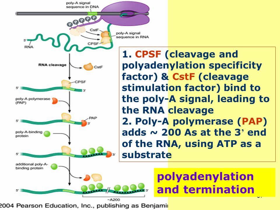 polyadenylation and termination