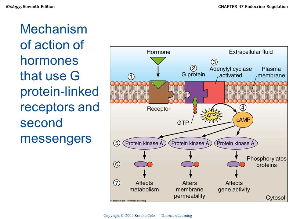 Mechanism of action of hormones that use G protein-linked receptors and second messengers