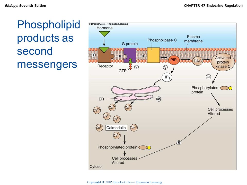 Phospholipid products as second messengers