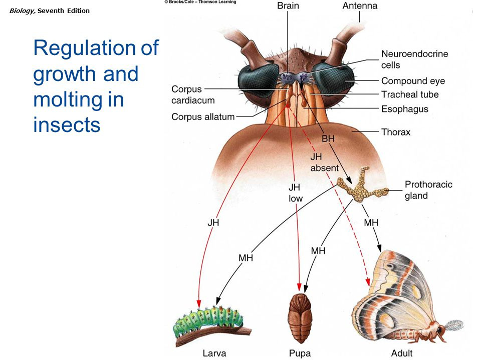 Regulation of growth and molting in insects