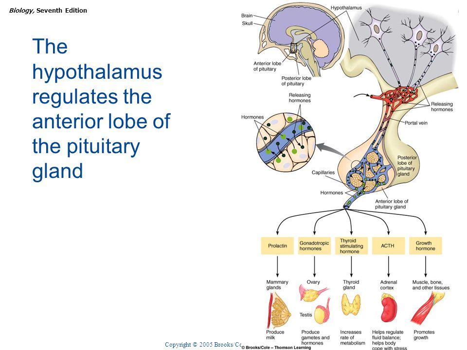 The hypothalamus regulates the anterior lobe of the pituitary gland