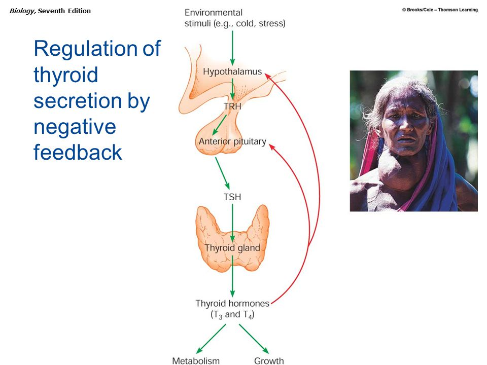 Regulation of thyroid secretion by negative feedback