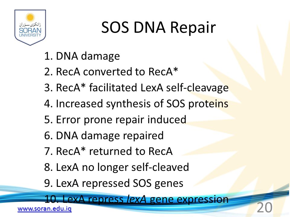 SOS DNA Repair