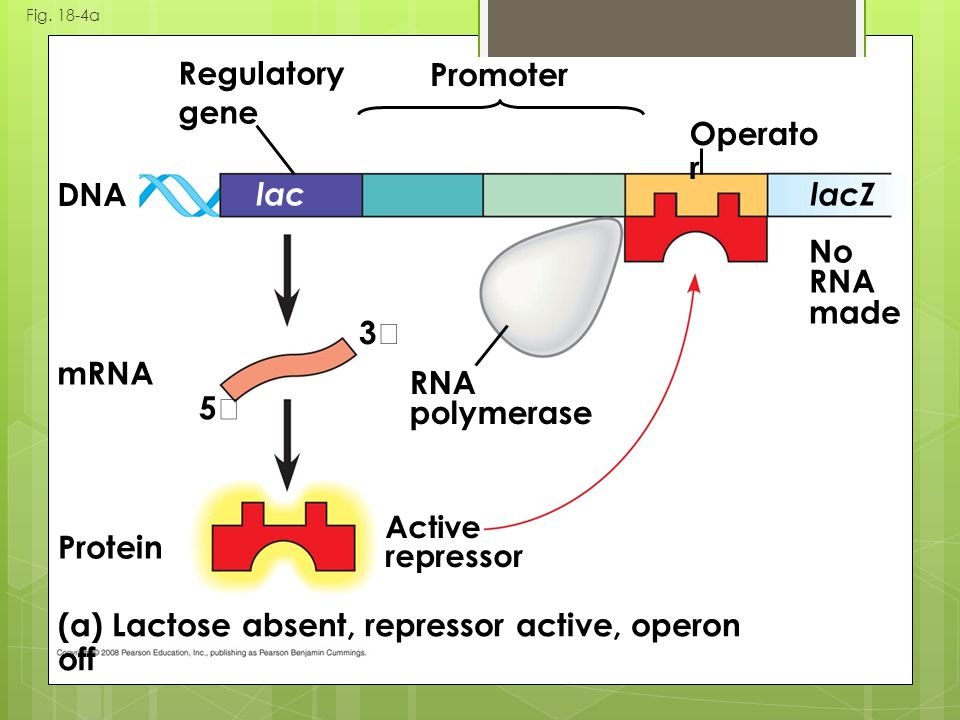 (a) Lactose absent, repressor active, operon off