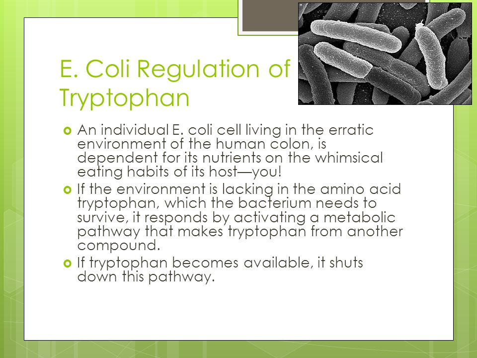 E. Coli Regulation of Tryptophan