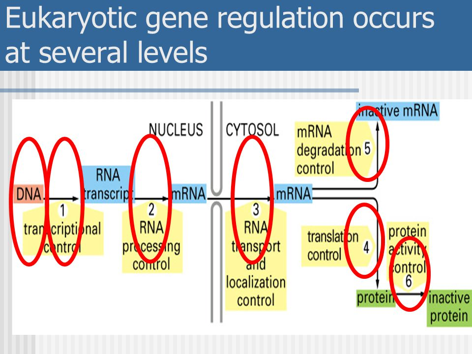 Eukaryotic gene regulation occurs at several levels