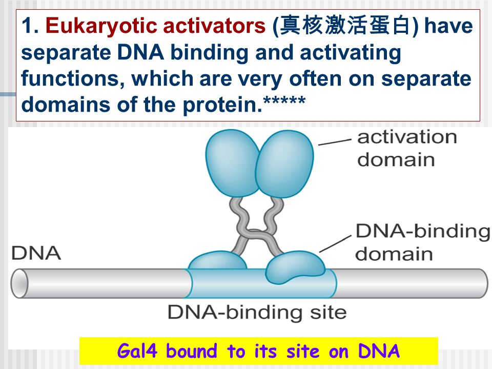 Gal4 bound to its site on DNA