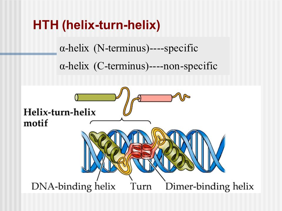 HTH (helix-turn-helix)