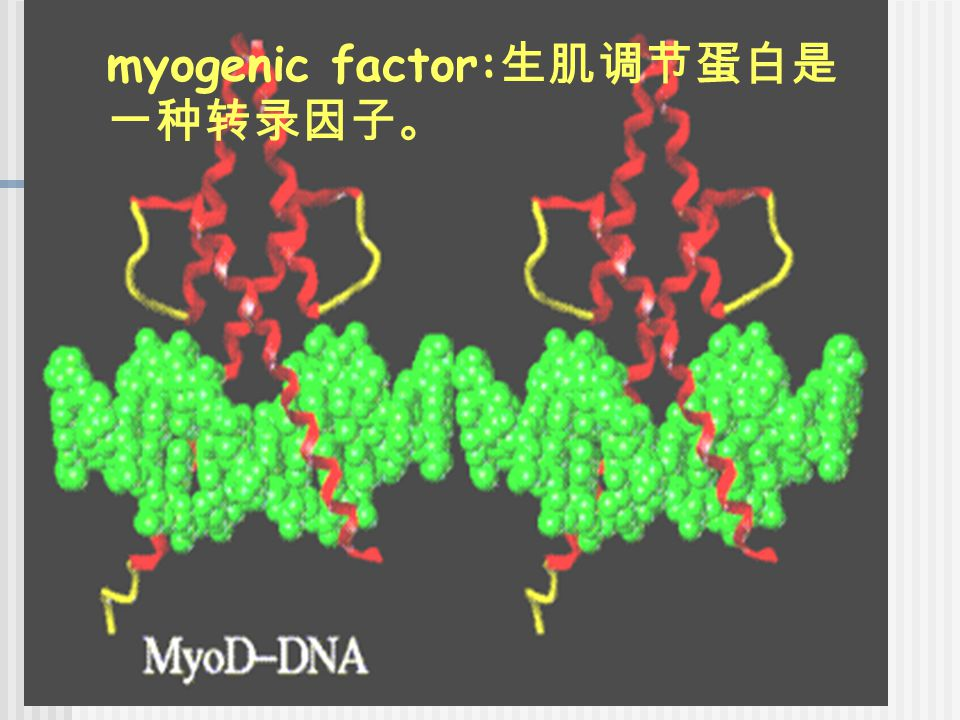 myogenic factor:生肌调节蛋白是一种转录因子。