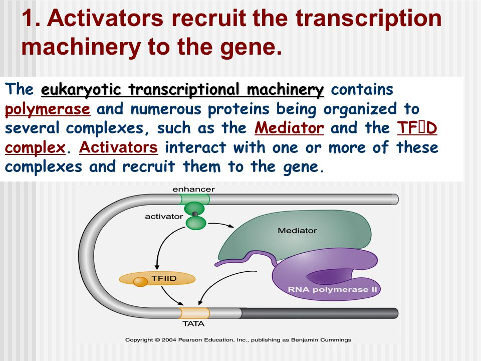 1. Activators recruit the transcription machinery to the gene.
