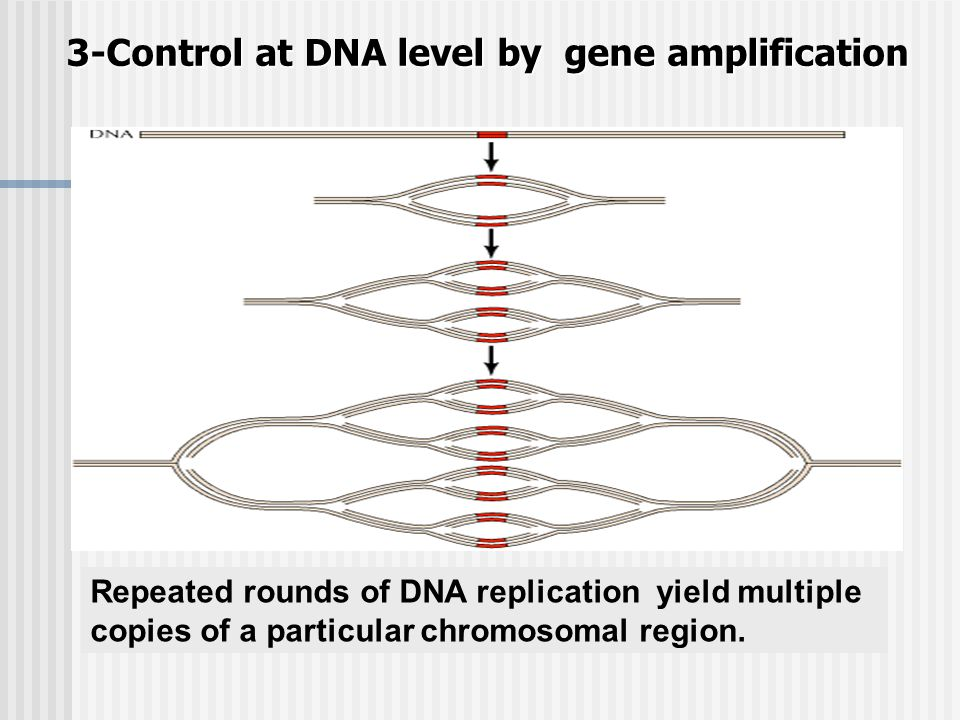 3-Control at DNA level by gene amplification