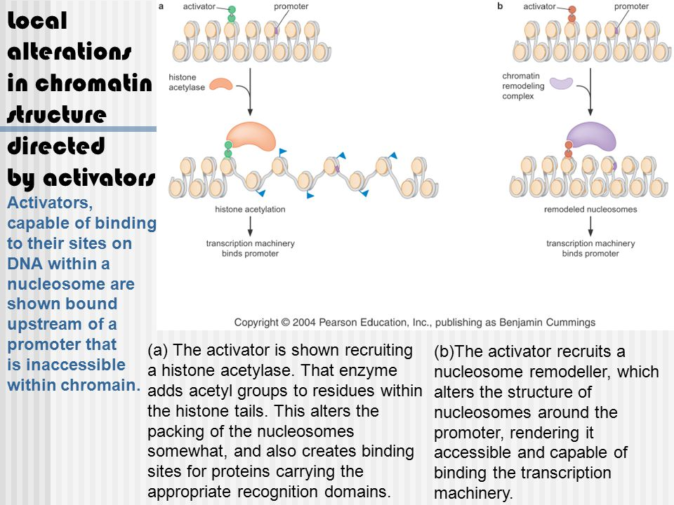 Local alterations in chromatin structure directed by activators